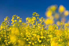 Closeup of a colza flower and blue sky Stock Photo