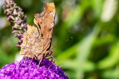 Closeup of comma Butterfly with wings closed. Closeup of a comma Butterfly with wings closed on the flowers of a Butterfly bush stock photos