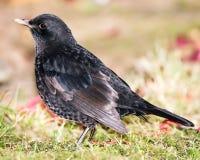 Closeup of a Common Blackbird Royalty Free Stock Photo