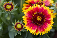 Closeup of a Common Blanketflower Royalty Free Stock Image