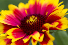 Closeup of a Common Blanketflower Stock Image