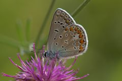 Closeup of a common blue butterfly. Sitting on a flower Royalty Free Stock Photos