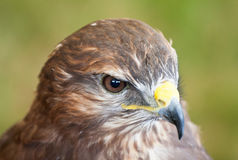 Closeup of a common buzzard Royalty Free Stock Photography