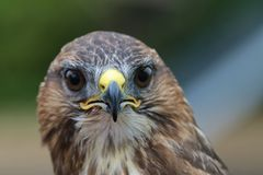 Closeup of a common buzzard buteo buteo looking straight at the camera Royalty Free Stock Image