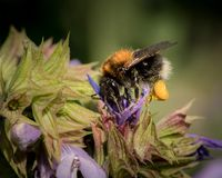 A common carder bee feeding on sage stock images