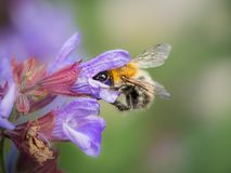 A common carder bee feeding on the blossoms of common sage stock images