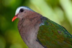Closeup of common emerald dove, scientific bird name Chalcophaps indica Stock Photography