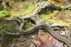 Closeup of a Common Garter Snake Royalty Free Stock Photography
