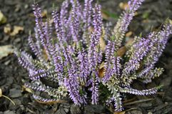 Calluna vulgaris Hilda iwth delicate purple flowers. Closeup common heater or calluna vulgaris Hilda with blurred background at fall garden royalty free stock photo