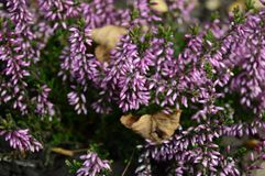 Calluna vulgaris Lena with delicate purple flowers. Closeup common heater or calluna vulgaris Hilda with blurred background at fall garden stock image