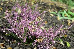 Calluna vulgaris Lena with delicate purple flowers royalty free stock image