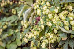 Common hop fruits from close. Closeup of a Common Hop or Humulus lupulus shrub growing in the wild Dutch nature. The female cone shaped fruits are used by royalty free stock photos