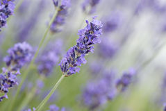Closeup of common lavender. Closeup of blue common lavender, or English lavender. A highly aromatic shrub, common in the mediterranean area. It has a delicious Royalty Free Stock Photos