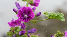 Closeup common mallow stock photos