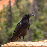 Closeup of Common Raven, Corvux Corax Stock Photography
