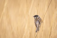 Singing reed bunting bird Emberiza schoeniclus in the reeds on a. Closeup of a common reed bunting bird Emberiza schoeniclus singing a song on a reed plume royalty free stock images