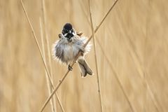 Singing reed bunting bird Emberiza schoeniclus in the reeds on a. Closeup of a common reed bunting bird Emberiza schoeniclus singing a song on a reed plume stock image