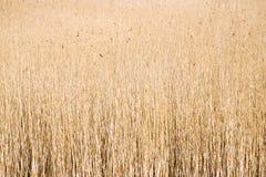 Closeup common reeds Stock Photo