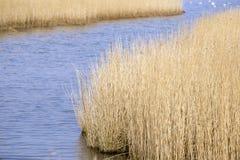Closeup common reeds Stock Photography