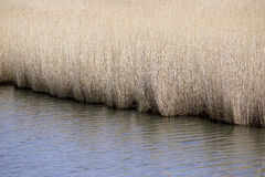 Closeup common reeds Royalty Free Stock Photography