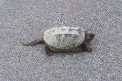 Closeup of common snapping turtle sunbathing on concrete road Stock Photography