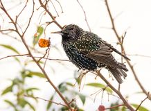 Closeup of a common starling Royalty Free Stock Photo