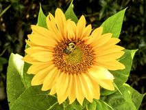 Closeup of Common Sunflower and Bee Royalty Free Stock Photo
