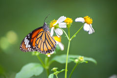 Closeup of the Common Tiger butterfly (Danaus genutia) feeding on a garden flower. The common tiger (Danaus genutia) belongs to the nymphalidae family of stock image