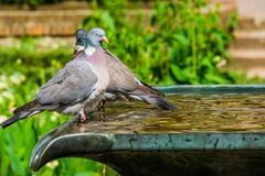 Closeup of a common wood dove sitting on water fountain in a garden, common bird in Eurasia. A closeup of a common wood dove sitting on water fountain in a royalty free stock photos