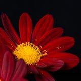 Closeup composition of red velvet chrysanthemum flowers on black Royalty Free Stock Image