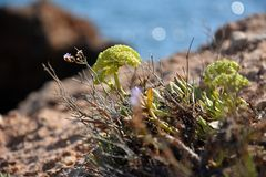 Rockery plants or stonecrops on rough ground at coast of northern spain with blue ocean in background bokeh. A closeup composition of rockery plants on a rockery Stock Photos