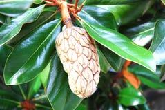 Closeup cone tree Stock Photos
