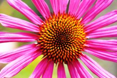 Closeup of a coneflower Royalty Free Stock Photo