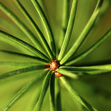Closeup of coniferous twig Stock Images