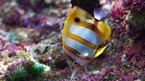 Closeup of a copperband butterflyfish swimming underwater, tropical fish specie from the pacific and indian sea. A closeup of a copperband butterflyfish swimming stock footage
