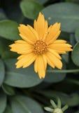 Closeup Coreopsis Nana golden flower Royalty Free Stock Photos
