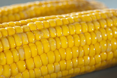 Closeup of corn. Fresh corn on the cob in closeup shot Royalty Free Stock Image