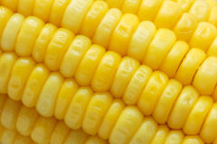 Closeup corn boiled Stock Photos