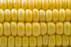 Closeup of corn cob. Closeup of fresh corn cob yellow grain royalty free stock image