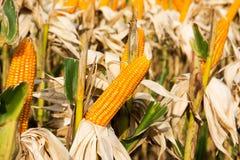 Closeup of corn cultivation at farm