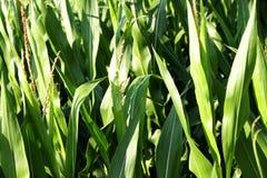 Closeup of a Corn Field Stock Photo