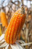 Closeup corn Stock Photography