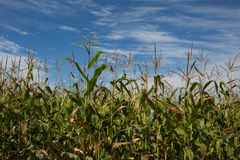 Closeup of Corn Field Royalty Free Stock Image
