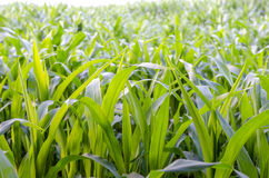 Closeup of corn field Stock Photo