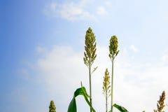 Closeup of a corn flower, Stock Photos