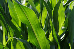 Closeup of corn leaves Stock Photography