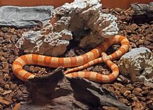 Corn Snake Coiled on The Ground. Closeup Corn Snake Coiled on The Ground Royalty Free Stock Photo