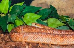 Closeup of a corn snake Stock Photo