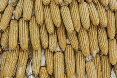 Closeup corn on the stalk in the corn field Stock Photos