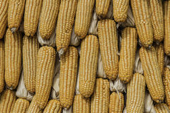 Closeup corn on the stalk in the corn field Royalty Free Stock Photo